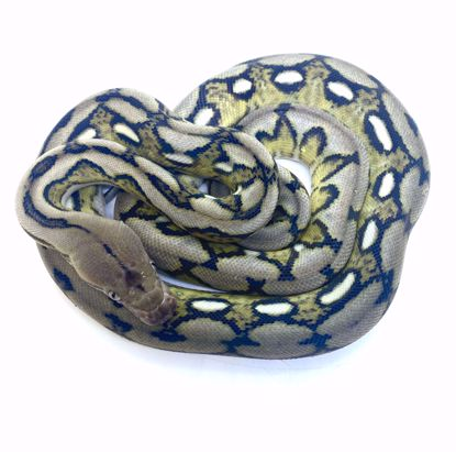 Picture of 0.1 37.5% DWARF ANERY SUNTIGER POS HET SNOW